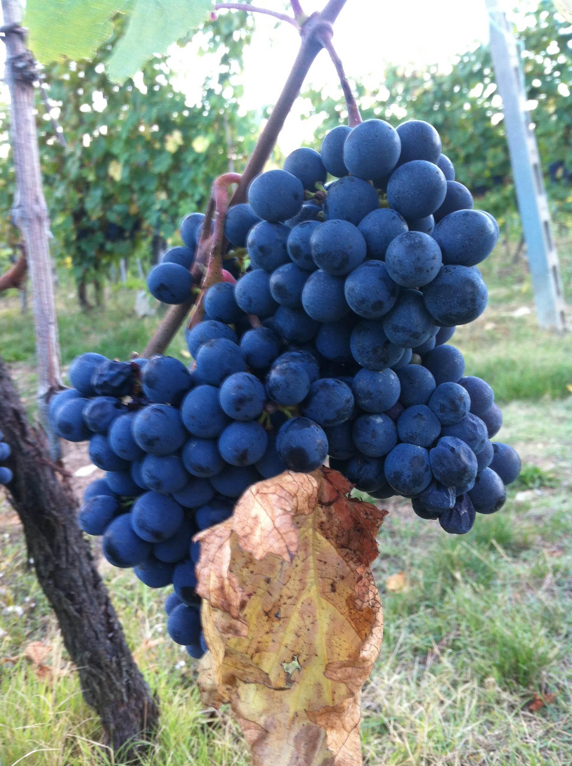 winegrapesinchianti