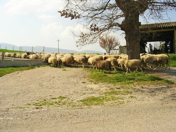 sheep umbria (2)